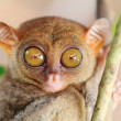 Phillipine tarsier — Stock Photo #5259656