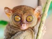 Phillipine tarsier — Stock Photo