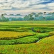 Paddy rice panorama — Stockfoto #5317252