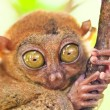Phillipine tarsier - Stock Photo