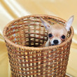 The smallest breed of dog — Stockfoto