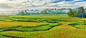 Paddy rice panorama — Stock Photo