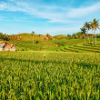 Paddy rice — Stock Photo #5330271