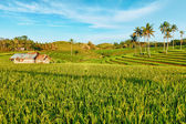 Paddy rice — Stock Photo