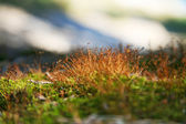 Clos-up green moss with focus on stamens — Stock Photo