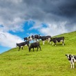 Grazing calves — Stock Photo