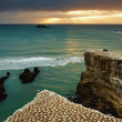 Gannet colony, New Zealand - Stock Photo