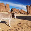 Donkeys in Sahara Desert — Stock Photo
