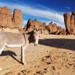 Donkeys in Sahara Desert - Stock Photo