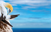Australasian gannet — Stock Photo