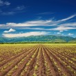 Field with sprouting crops — Foto Stock