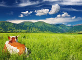 Cow on the grassland — Stock Photo