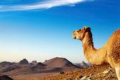 Camel in Sahara Desert — Stock Photo