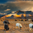 Stock Photo: Grazing sheep and goats