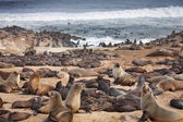 Atlantic seals — 图库照片