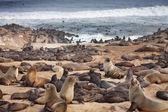 大西洋のシール — ストック写真