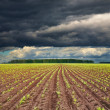 Field with sprouting crops - Stock Photo