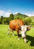 Gehörnte kuh — Stockfoto