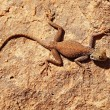 Desert lizard on the rock -  