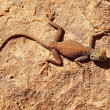 Desert lizard on the rock - Zdjęcie stockowe