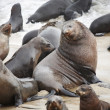 Atlantic fur seals - Stock Photo