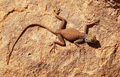 Desert lizard on the rock — Stock Photo