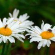Flies on the daisies — Stock Photo