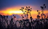 иссохший репейник на осенний закат — Стоковое фото