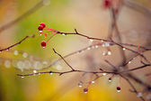 Autumn branches under rain — Stock Photo