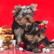 Puppy yorkshire terrier — Stock Photo #4405725