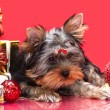 Puppy yorkshire terrier — Stock Photo #4405750