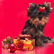 Puppy yorkshire terrier — Stock Photo #4405770