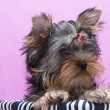 Puppy yorkshire terrier — Foto Stock