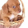 Stock Photo: Dachshund puppi