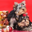 Puppy yorkshire terrier - Stock Photo