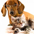 Foto Stock: Dachshund dog and kitten