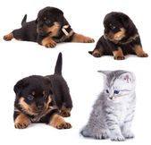 Rottweiler purebred puppy 3 — Stock Photo