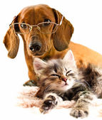 Dachshund dog and kitten — Stock Photo