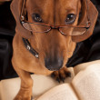 Clever dog in glasses - Stock Photo