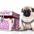 Pug purebred puppy - Stock Photo