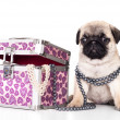 Stock Photo: Pug purebred puppy