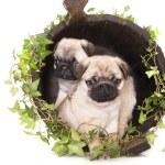 Pug purebred — Stock Photo #4761474