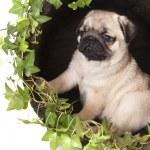 Pug purebred — Stock Photo #4761504