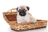 Pug purebred puppy — Stock Photo
