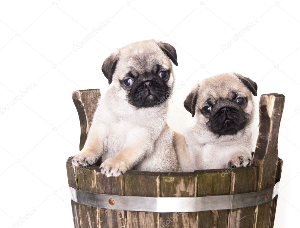 pug purebred puppy in an old tub — Stock Photo #4761518