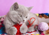 British kitten — Stockfoto