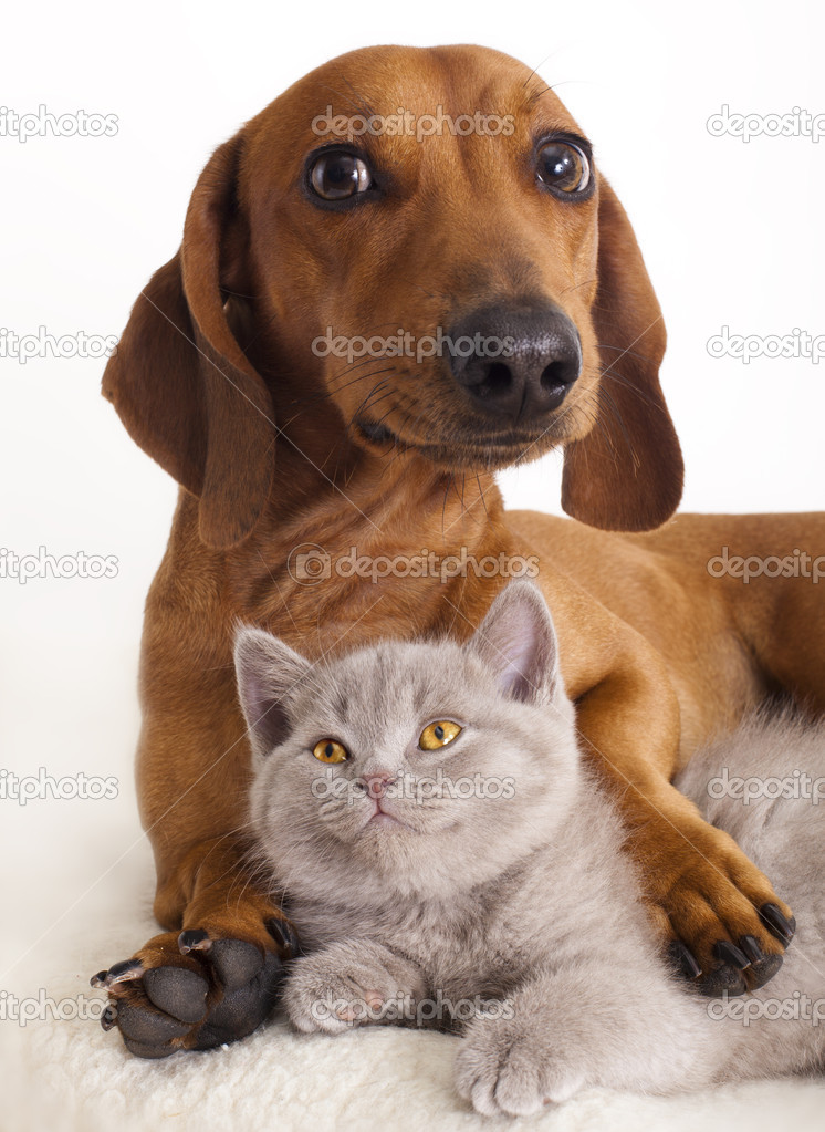 British kitten and dog dachshund  — Stock Photo #5026103