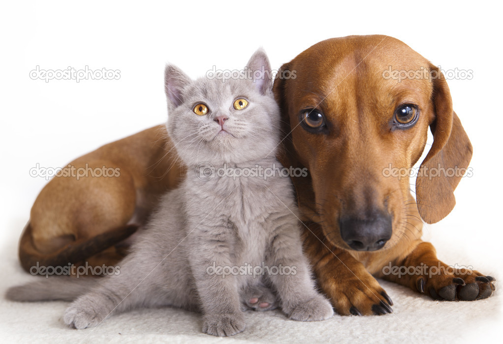British kitten and dog dachshund  — Stock Photo #5026112