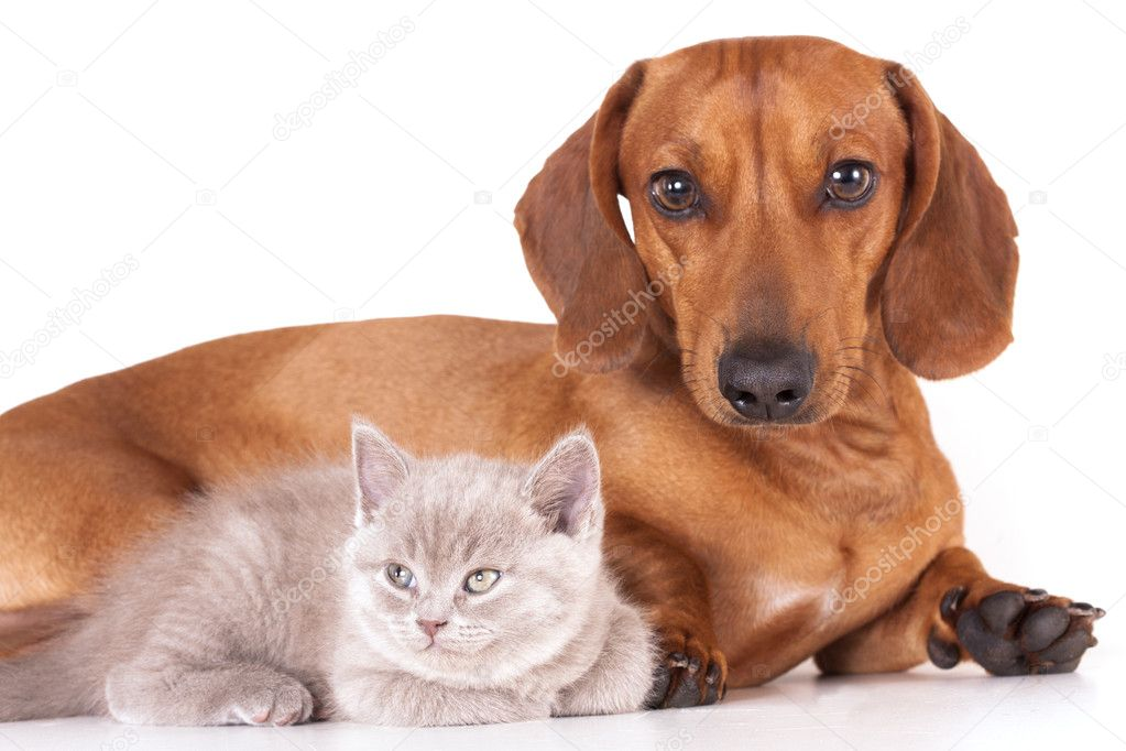 British kitten and dog dachshund  — Stock Photo #5026119