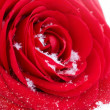 Red Rose on Snow — Stock Photo